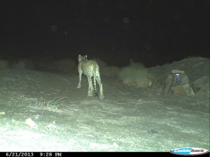 cheetah-cameratrap