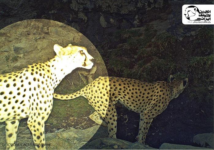 هومینو - یوزپلنگ دره انجیر