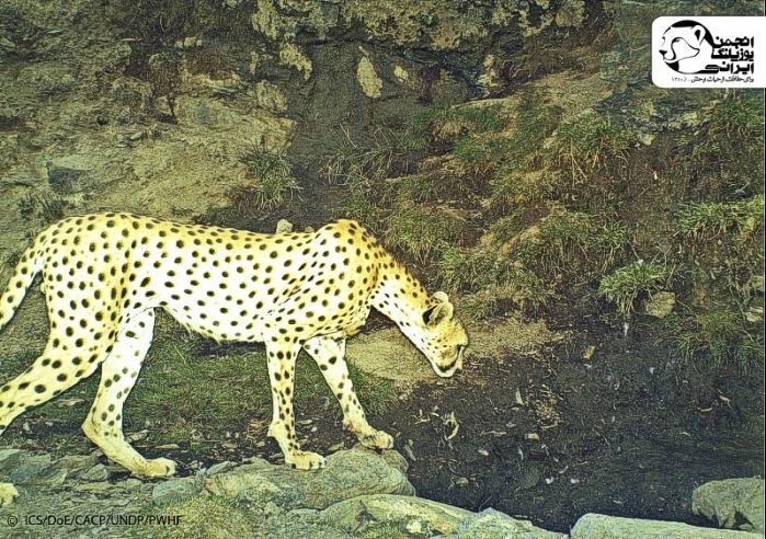اردلان - یوزپلنگ دره انجیر