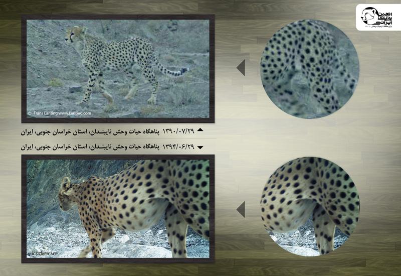 نوید- یوزپلنگ آسیایی