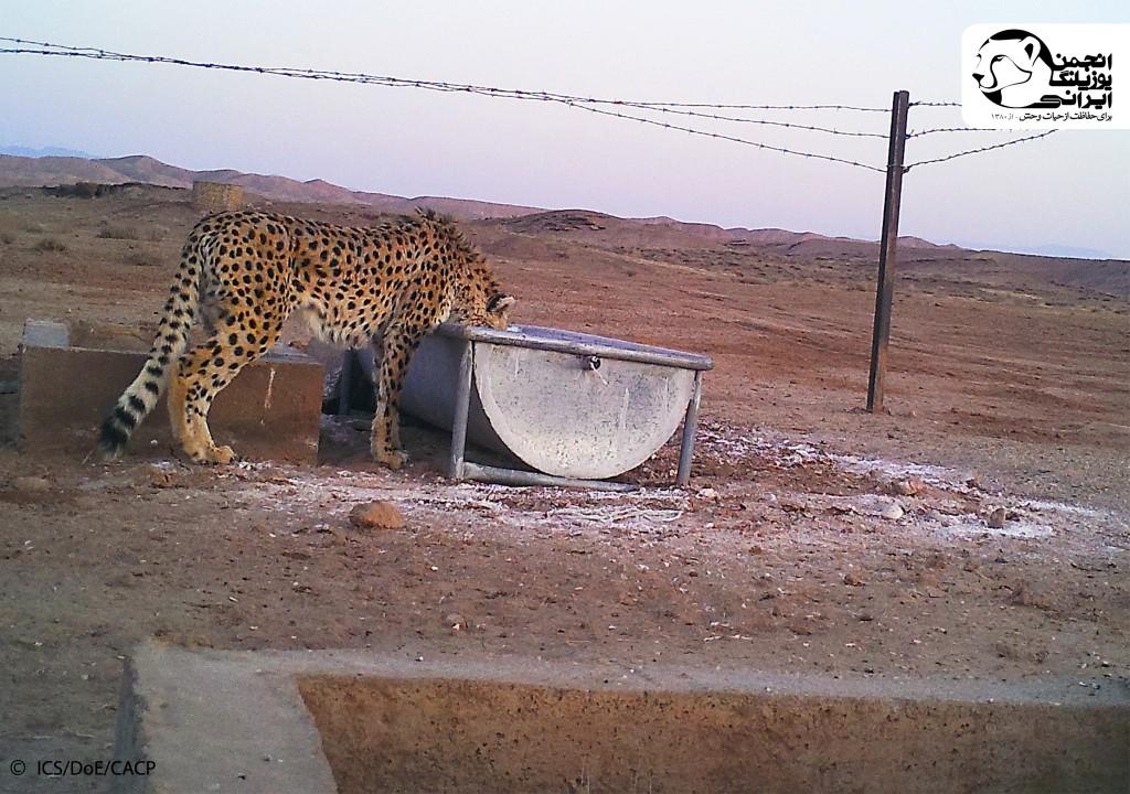 یوزپلنگ بر سر آبشخور
