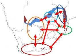 جا به جایی یوزپلنگ ها به صورت دسنی در فراجمعیت های آفریقای جنوبی