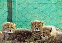 Cheetah cubs