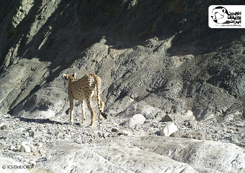Asiatic Cheetah (1)