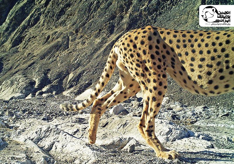 Asiatic Cheetah (2)