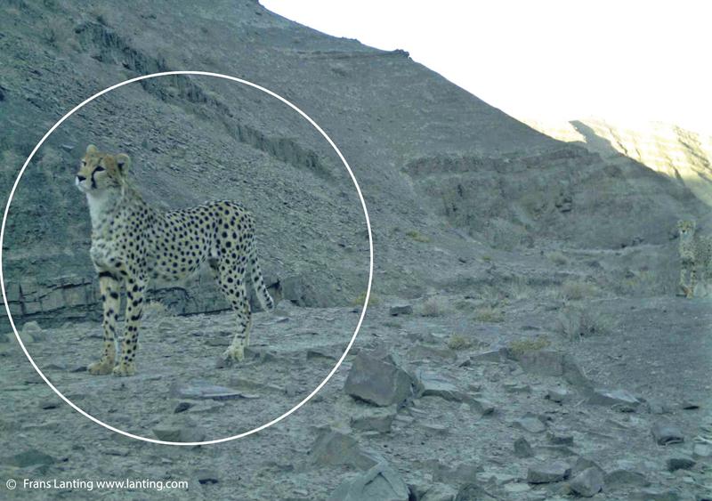 Asiatic Cheetah(3)