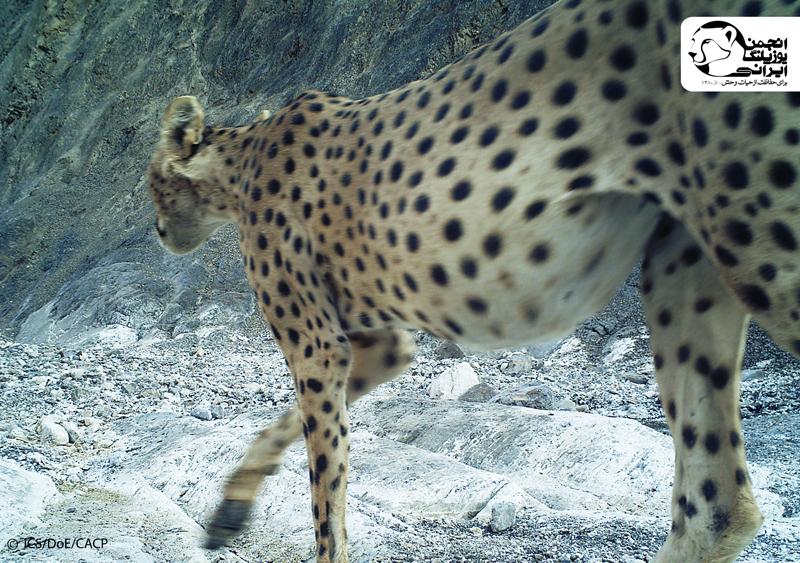 Asiatic Cheetah(4)