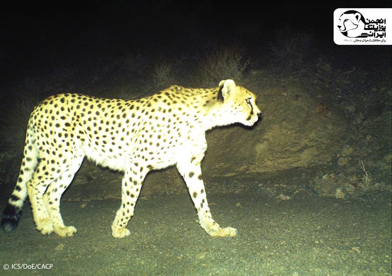 Asiatic Cheetah(6)