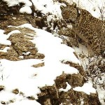 persian leopard conservation