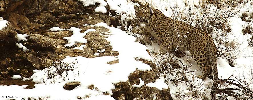 Persian_leopard_Iran