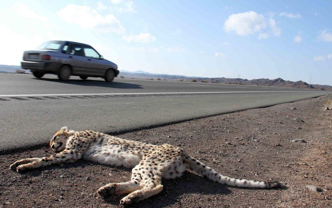 cheetah roadkill