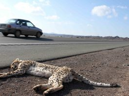 cheetah roadkill