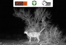 Asiatic Cheetah in Touran Biosphere Reserve