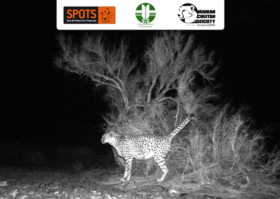 Asiatic Cheetah in Touran Biosphere Reserve