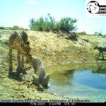 Asiatic Cheetah cub