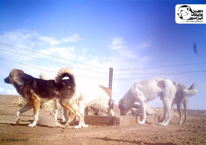 خطر سگ های گله برای یوزپلنگ ایرانی